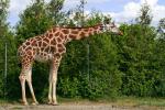 t_giraffe_stretch-sxchu-879539_75081332_c_nicolas_raymond.jpg